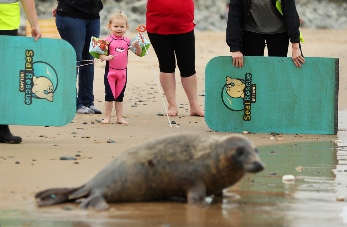 07 August 2020, Ireland, Courtown: Toddler Georgia Tomkins from Kiltipper, watches as Scribbly Gum, an 8-month-old grey seal, is released on a beach in Courtown. The seal was rescued in January by the Seal Rescue Ireland in Donegal, with an eye infection which required surgery to remove the eye as part of his rehabilitation before release. Photo: Brian Lawless/dpa.