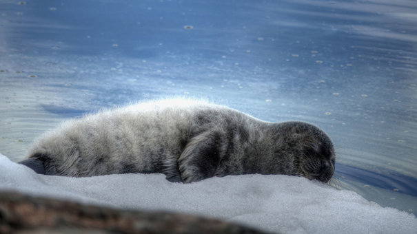 Finns mobilize to save ringed seals