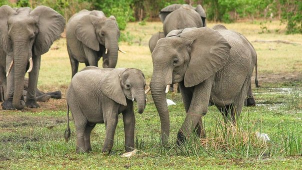 Mass elephant deaths in Botswana have authorities stumped