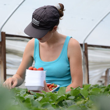 Agriculture-woman-strawberry-fields-work-job-seasonal-work