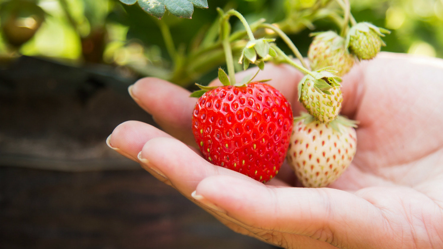 Agriculture strawberry hand