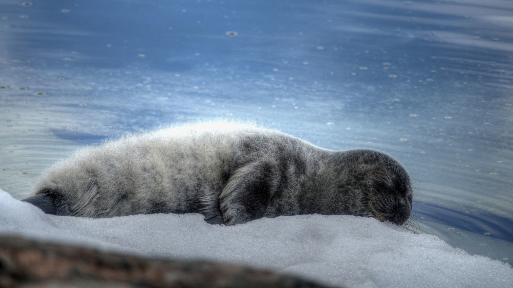 A ringed seal on the snow. Photo: Ismo Marttinen/WWF.