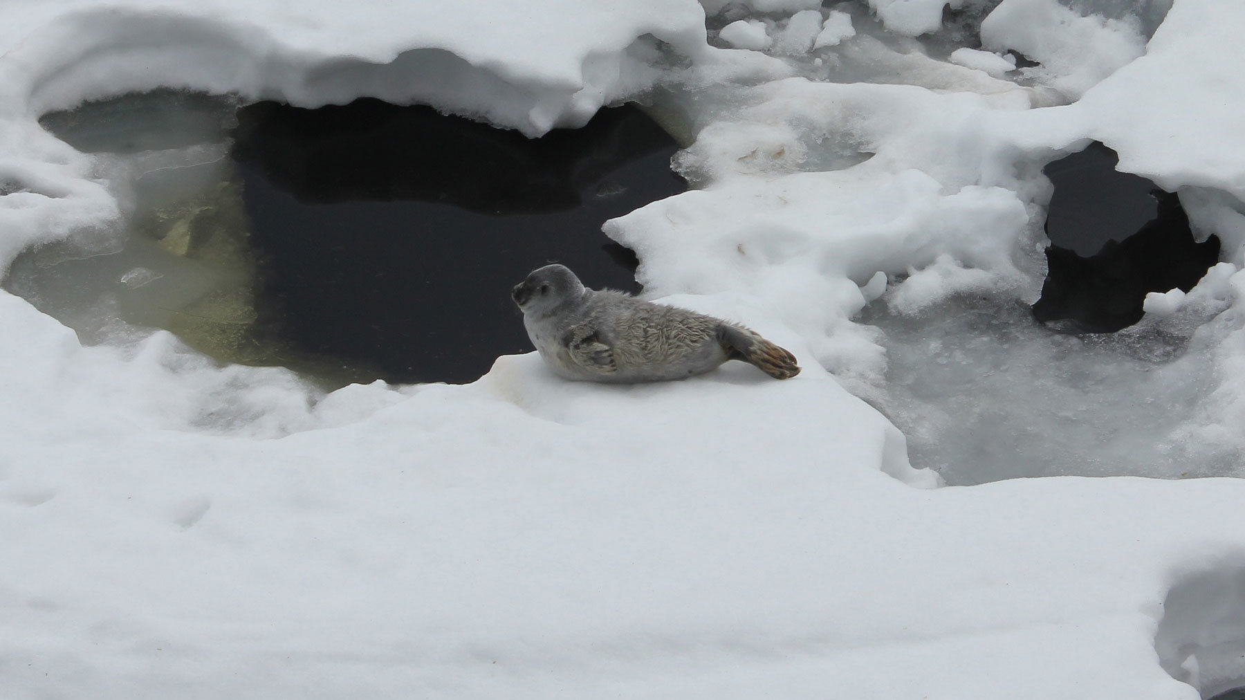 A ringed seal, in its natural habitat. Photo: Ismo Marttinen/WWF.