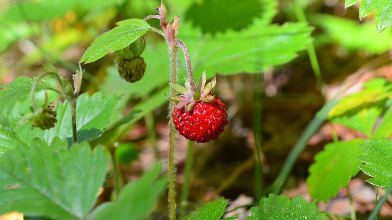 wild-strawberry-IgorKon-Pixabay